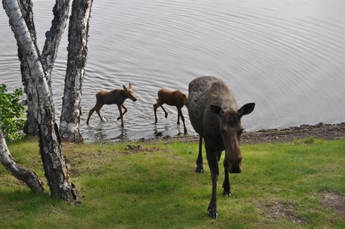 Moose cow with calves in front yard