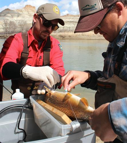 Implanting a transmitter into a brown trout for the Green River Adopt a Trout Program.