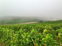 Foggy morning in Edna Valley