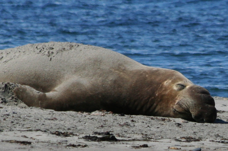 Gallery Image film_strip_Elephant_Seal.png