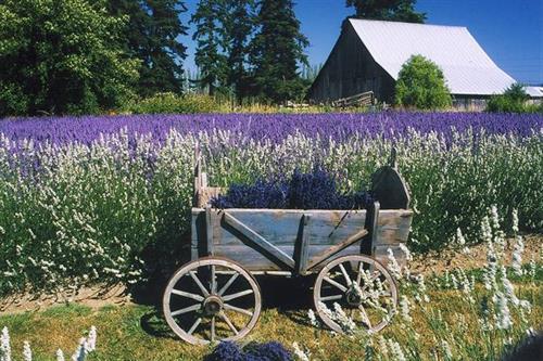 Oliver's Lavender Farm