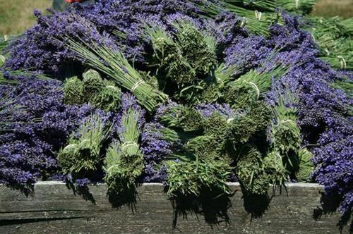 Nelson's Duckpond Lavender Farm Harvest