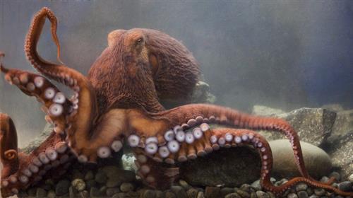 Gallery Image octopus_credit_Burt_Foote_web.jpg