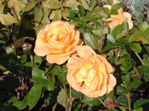Julia Child rose (one of the most fragrant yellow roses)