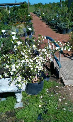 Mock Orange in full bloom