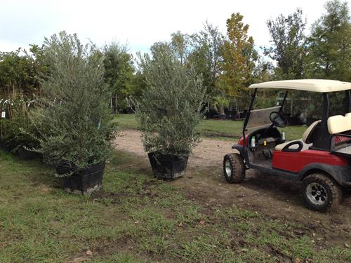 45-gallon Olive (San Antonio Mission)
