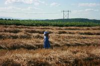 Neva in the freshly cut wheat