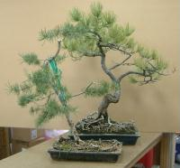 specialty shipping - bonsai trees