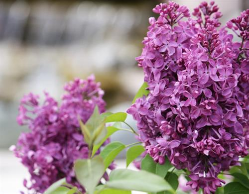 We offer a huge selection of trees, shrubs, and perennials