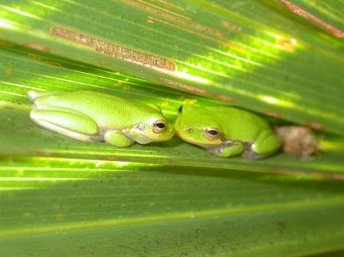 Green Treefrogs