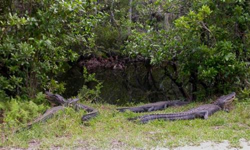 Alligators bask in the back country