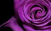 Purple Rose Florist