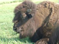 bison - Mariposa