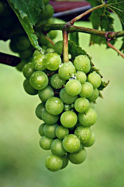 Gallery Image be%20winery-grapes.jpg