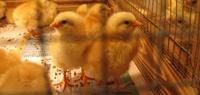 Gallery Image chickens.jpg