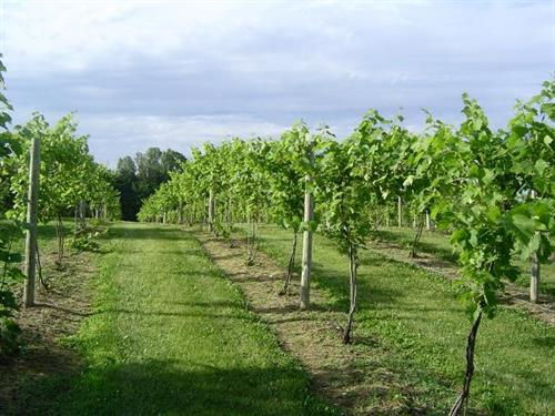 South Vineyard