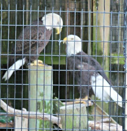 American Bald Eagles at Peace River Wildlife Sanctuary