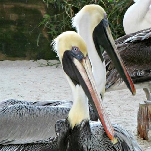 Pelicans at  Peace River Wildlife Sanctuary