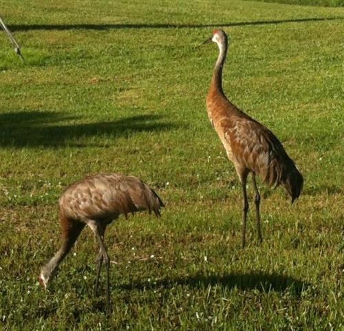 Heron's at Lake Suzy  Aug 2012