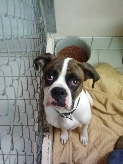 Otis is a male Boxer around 3 years old.