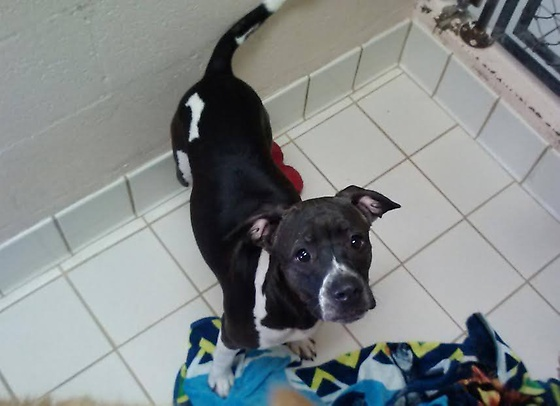 Marilyn is a female Pitbull mix around a year old.