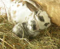 Rabbit mom with baby