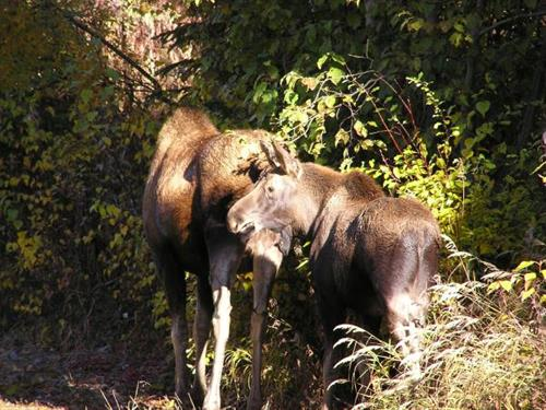 Moose and calf in Juy