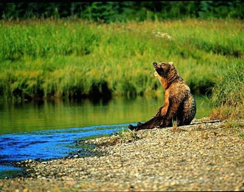 Grizzly taking a break.