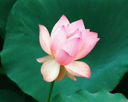 Gallery Image the_lotus_flower._hawaii.jpg
