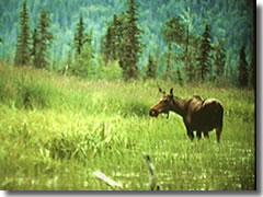 Gallery Image moose_reeds_shadow.jpg