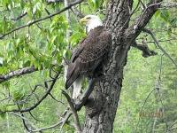 Adult eagle