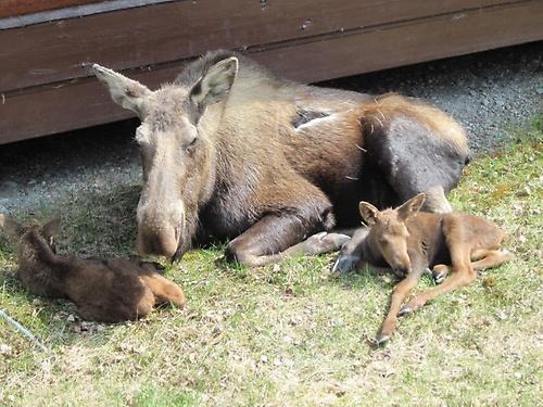 moose at KRPR