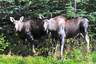 Moose twins.