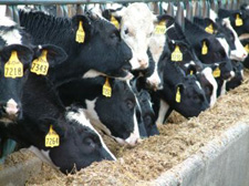 Dairy cattle eating pulp