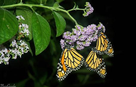 Gallery Image monarchs.jpg