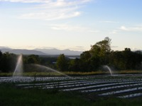 irrigating the strawberry crop