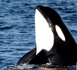 Gallery Image Hello-Orca.png