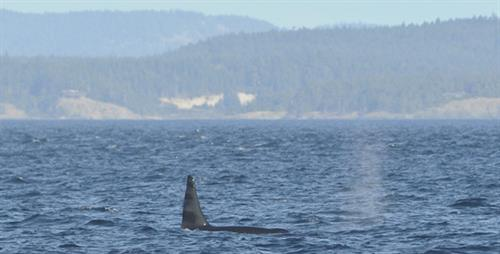 Lunch with resident orcas