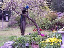 Gallery Image peacock03_225.jpg