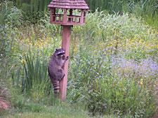 Gallery Image raccoon_feeder_225.jpg