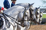 Tempel Lipizzans Public Performances