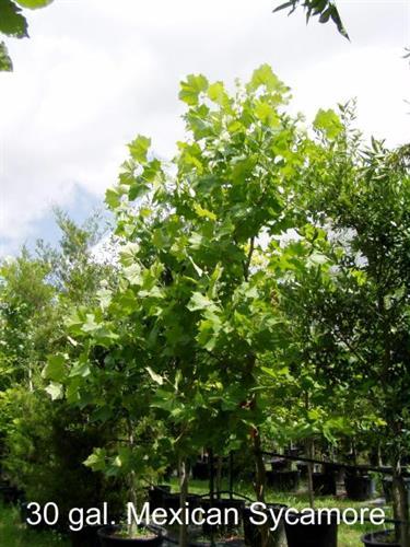 Discount Trees Of Brenham Nursery Flowers Plants Trees