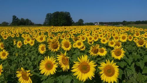 Treasured Haven Farm Sunflowers