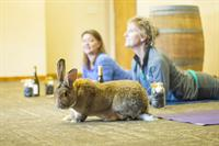 Bunnies Yoga highlights 2nd Annual Lakes Area Yoga Festival at Ruttger's