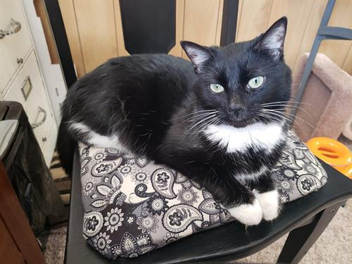 Sadie is 3 years, spayed and utd on shots.  She is a sweet cat that just needs a second chance to love someone. Contact Cindy at PAC.  218.235.8735
