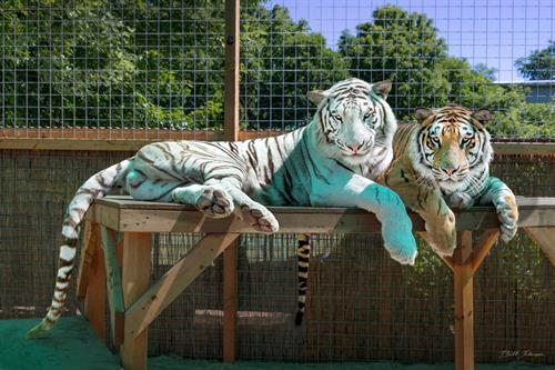 Zeus and Diego... just chillin' between Tiger Adventure Shows!