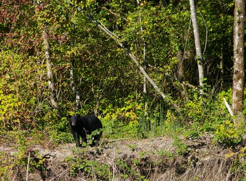 Black bear on the shoreline of the Fraser River