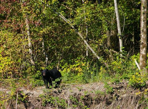 Black bear on the shoreline of the Fraser River