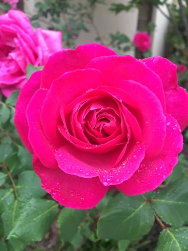Perkinson Rose Garden Free and open to Public