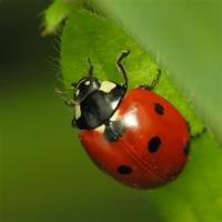 League of Women Voters Glen Ellyn Annual Community Ladybug Give Away
